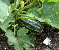 Riesenzucchini Im Garten
