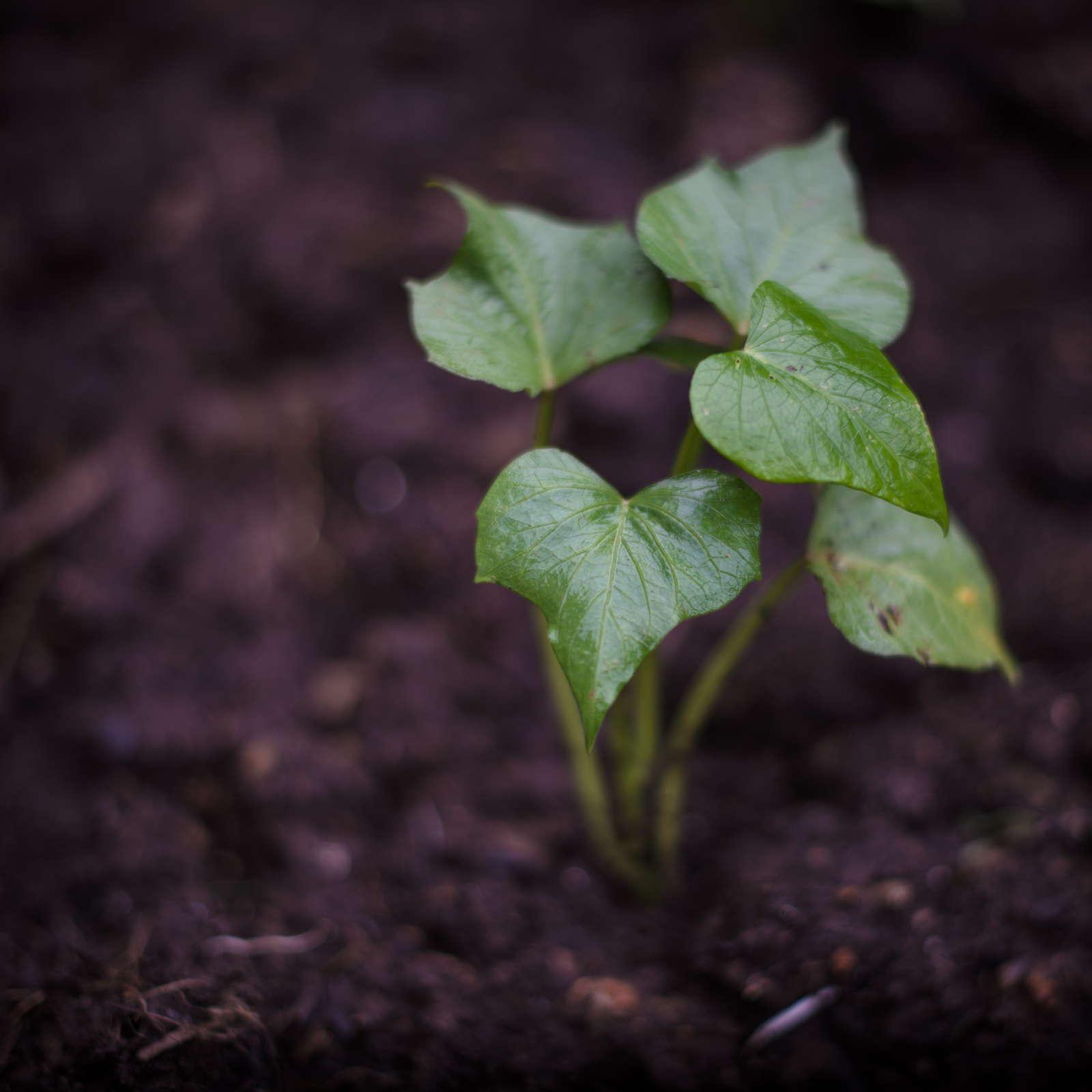 s kartoffel anbauen infos zu jungpflanzen sorten und erntezeit plantura. Black Bedroom Furniture Sets. Home Design Ideas