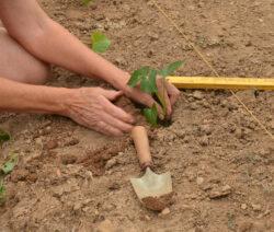 Süßkartoffel Anabu Im Garten Auf Dem Feld