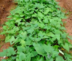 Süßkartoffeln Anbauen Im Beet Im Garten