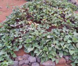 Süßkartoffeln Anbauen Im Beet