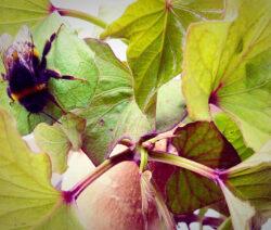 Süßkartoffel_Blätter