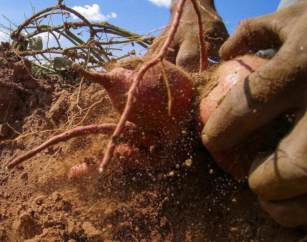 Süßkartofeln ernten per Hand