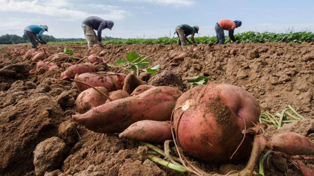 Ernte Süßkartoffel auf Feld mit Feldarbeitern