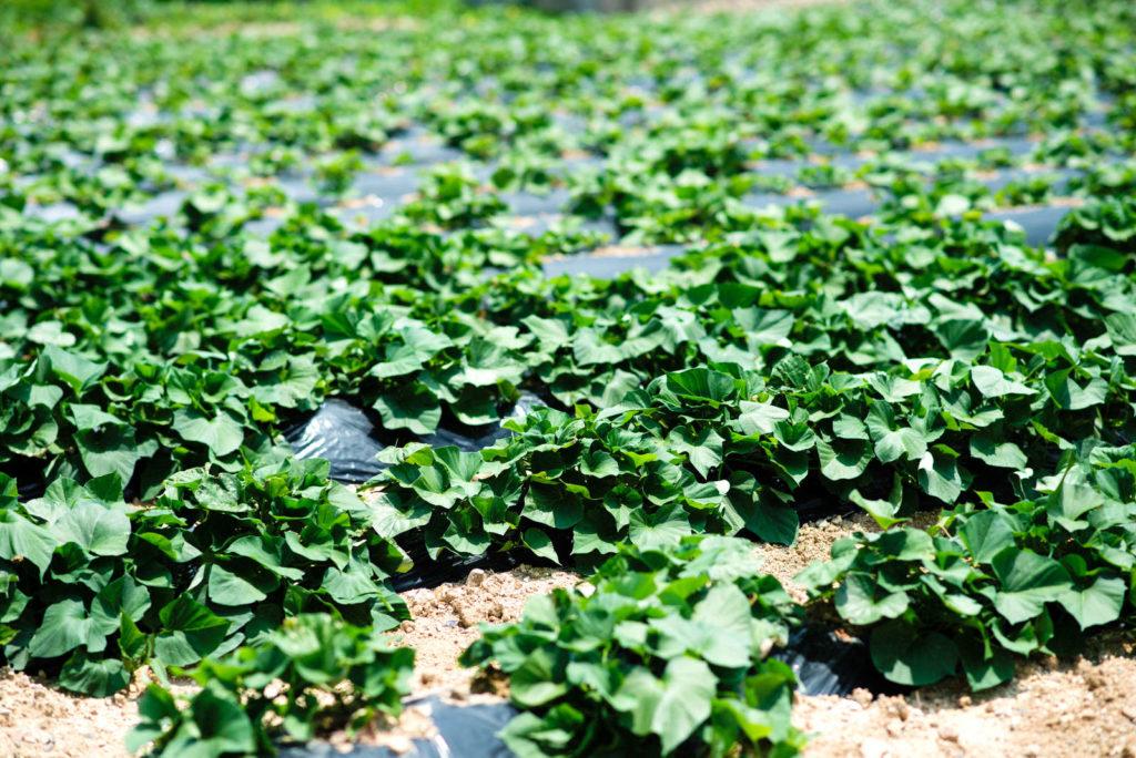 Süßkartoffeln anbauen im Feld
