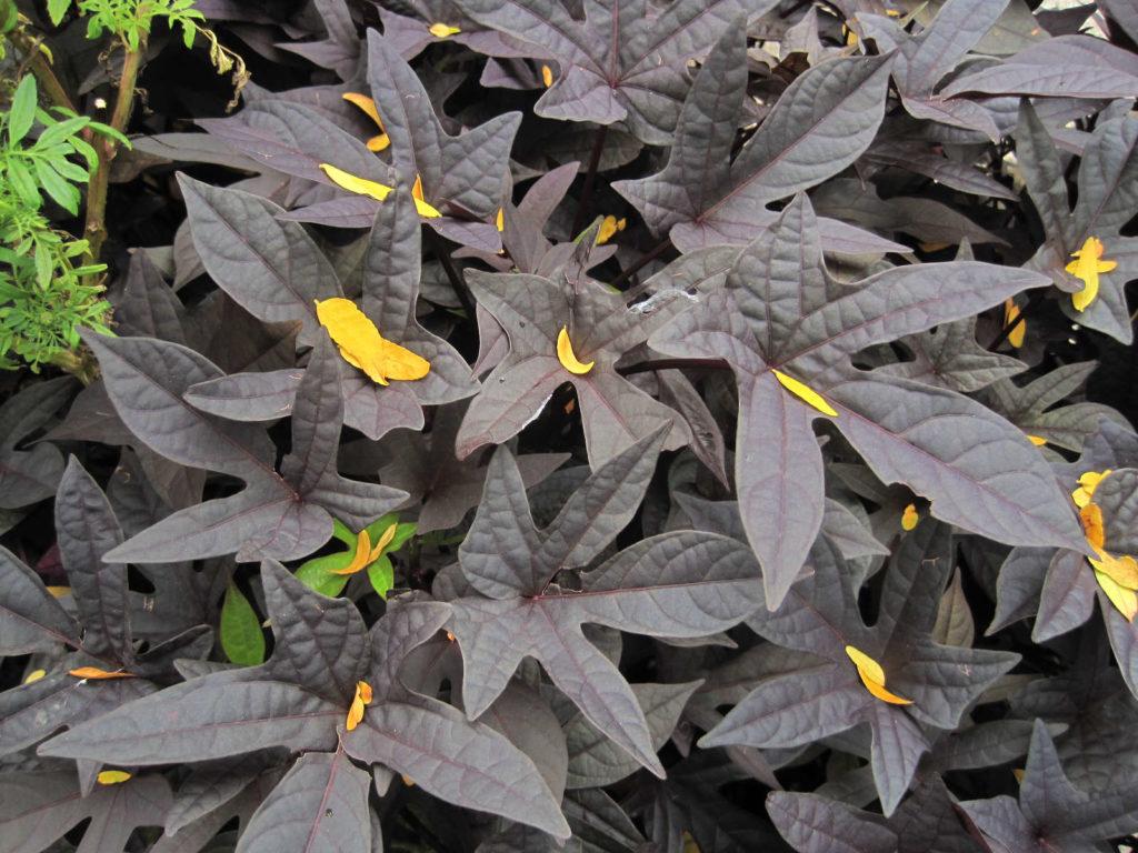 Süßkartoffel mit dunklen schwarzen blättern als Zierpflanze