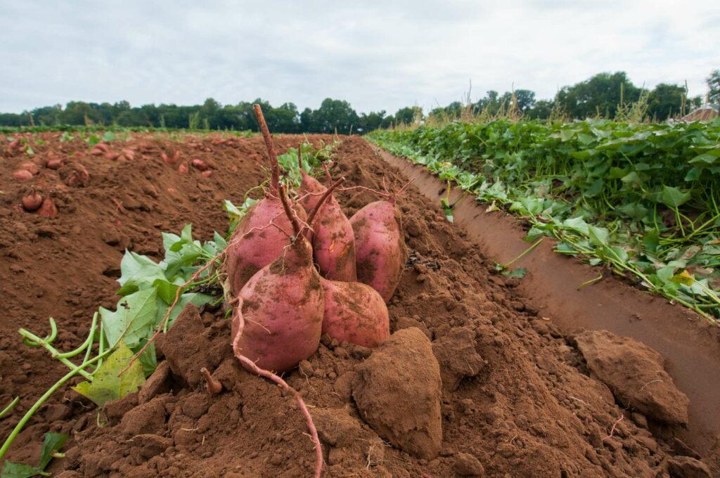 Süßkartoffeln im Feld