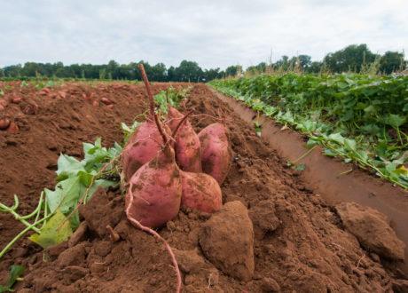 Süßkartoffel: Überblick Und Informationen Zur Süßen Kartoffel