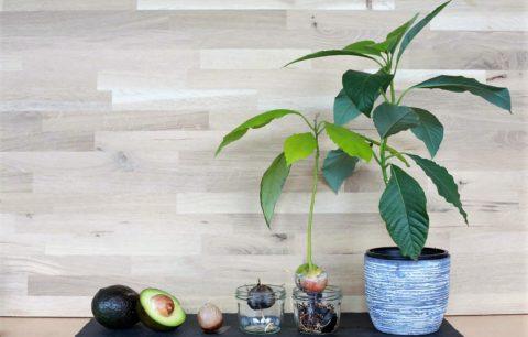 Avocado Anpflanzen: Vermehrung & Anbau Leichtgemacht