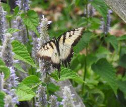 Schmetterling Auf Ysop 2