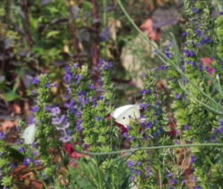 Schmetterling Auf Ysop