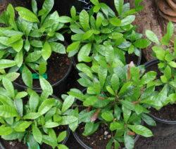 Wunderbeere Pflanzen Im Topf
