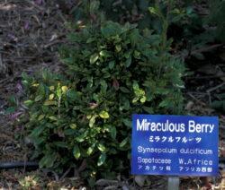 Wunderbeere Strauch Im Garten