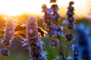 Ysop Sonnenuntergang Mit Hummel