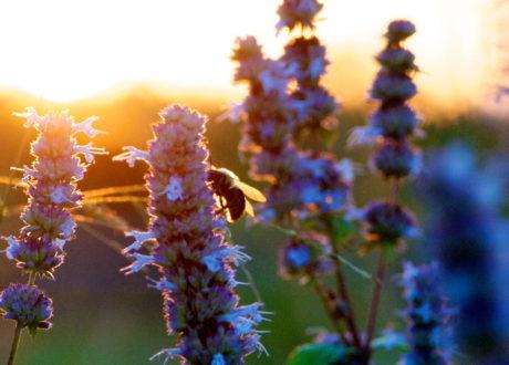 Ysop: Das Würzige Gartenkraut Im Überblick