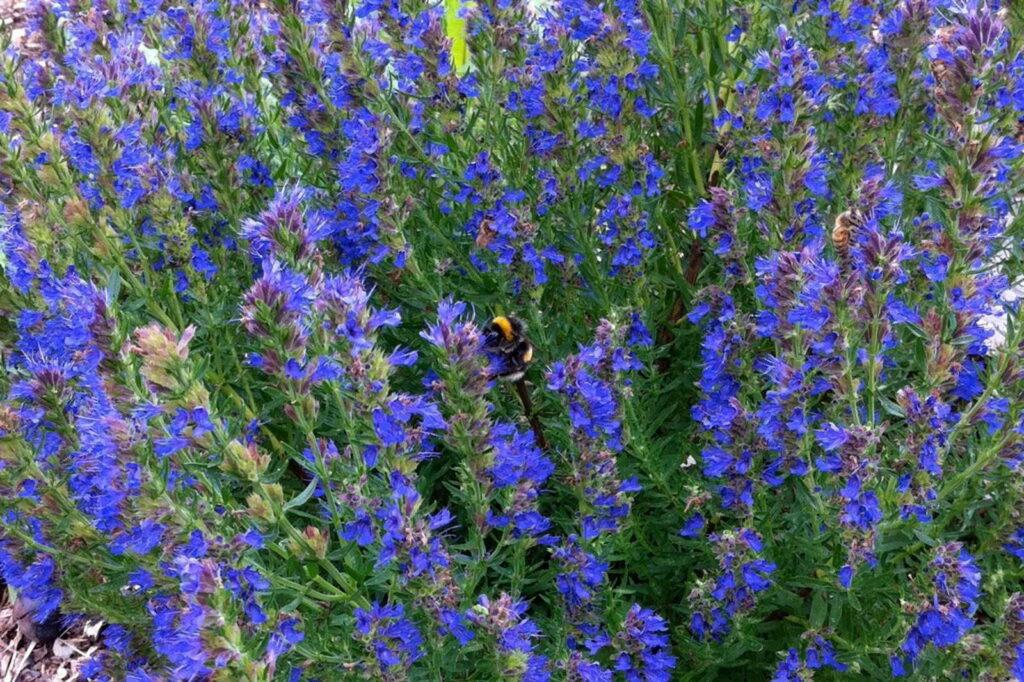 Ysop blaues Blütenmeer mit Hummel