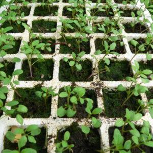 Ysop Vermehren Und Pflegen