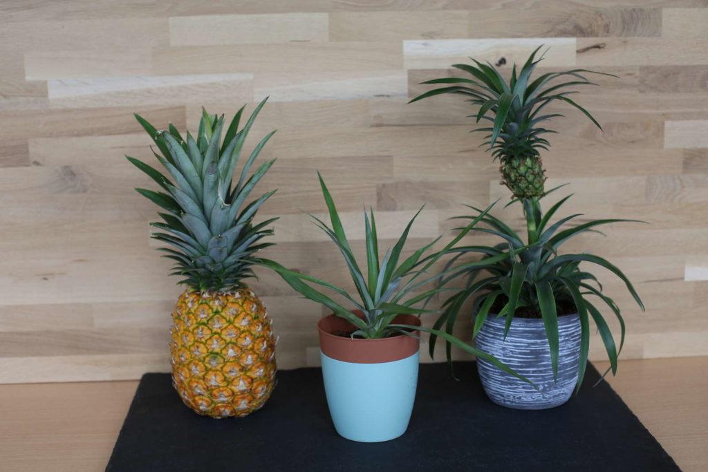 regrow Ananas reife Ananas, wachsende Ananas und mini ananas