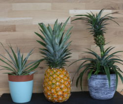 Ananas Regrow Zuhause