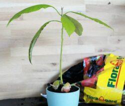 Avocado Pflanze Frisch Eingetopft