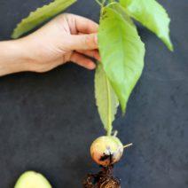 Avocadokern Mit Wurzeln Und Blättern