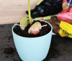 Avocadokern Nicht Ganz Mit Erde Bedeckt