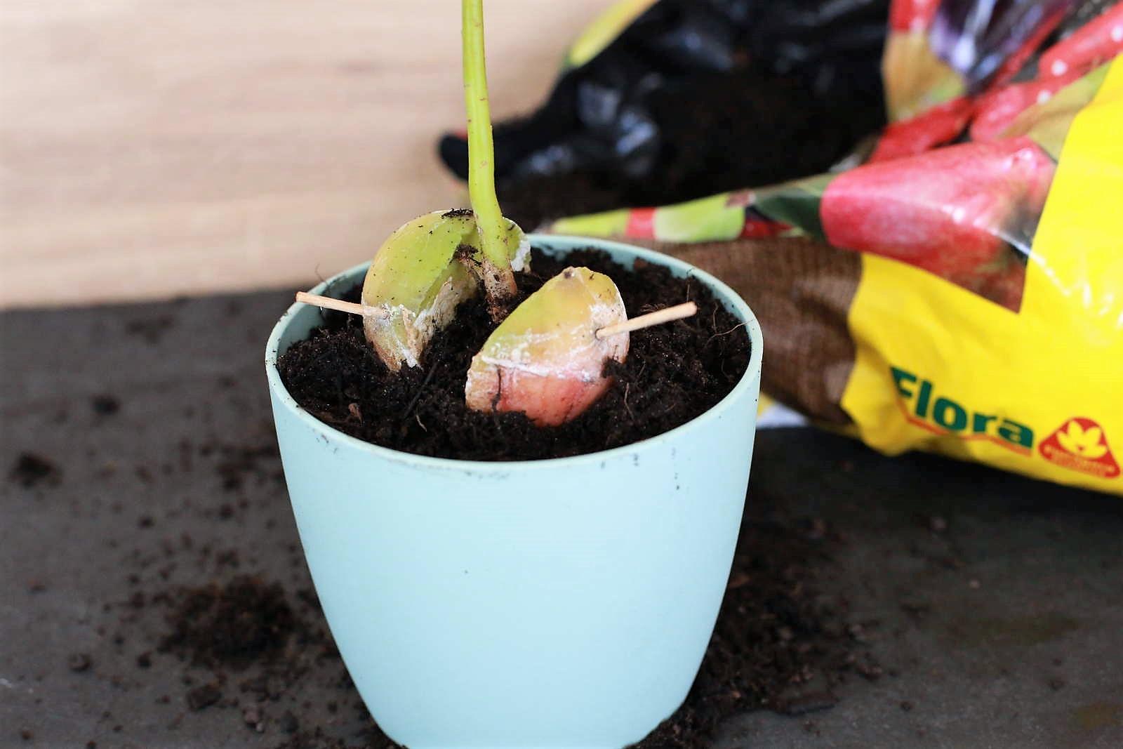 avocadokern einpflanzen vermehrung anbau leichtgemacht plantura. Black Bedroom Furniture Sets. Home Design Ideas