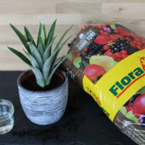 Bewurzelten Strunk Der Ananas In Erde Einpflanzen