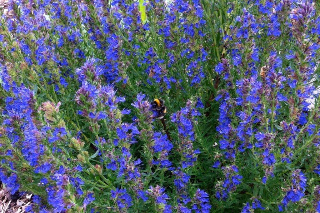 Hummel in blauem Ysop-Blütenmeer