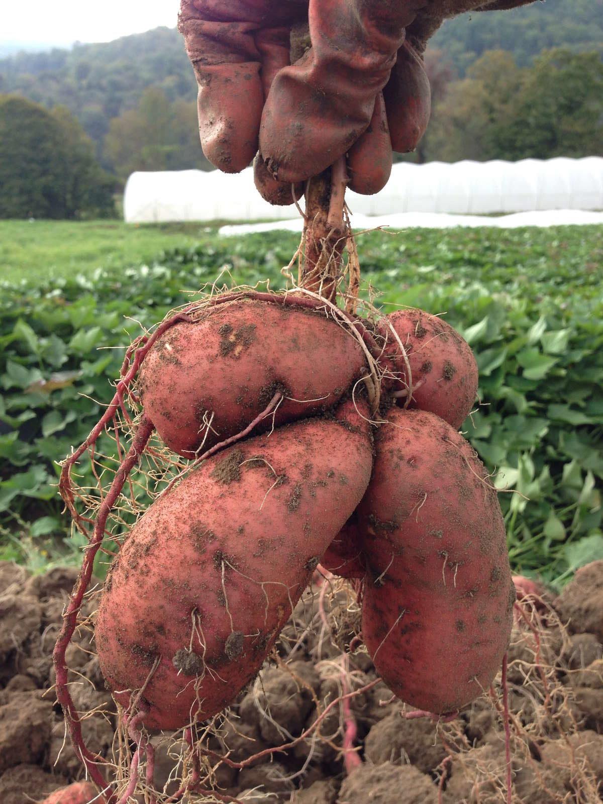 Süßkartoffel überblick Und Informationen Zur Süßen Kartoffel Plantura