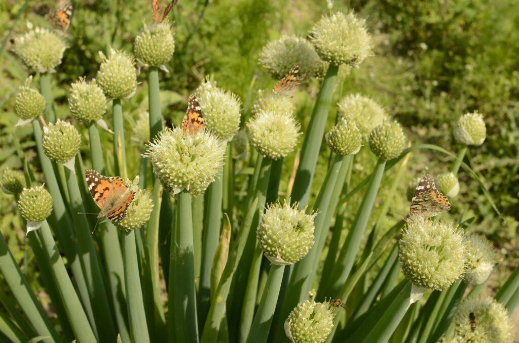 Frühlingszwiebel-Blüten mit Schmetterlingen