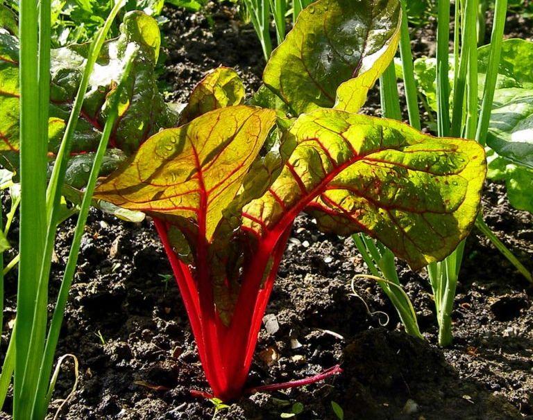 Frühlingszwiebel mit Mangold im Beet