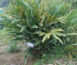 Große Galgantpflanze