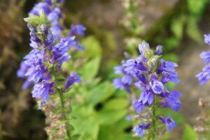 Ysop-Pflanzen Mit Violetten Blüten