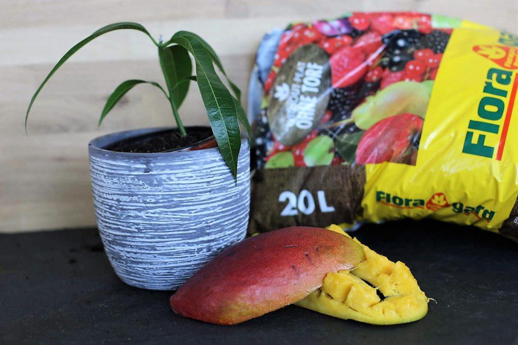 kernlose Mango neben Pflanze und Erde