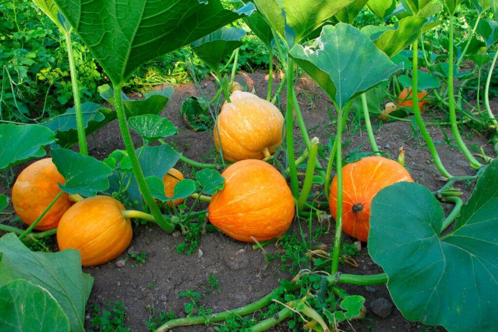 große orangene Kürbisse im Garten