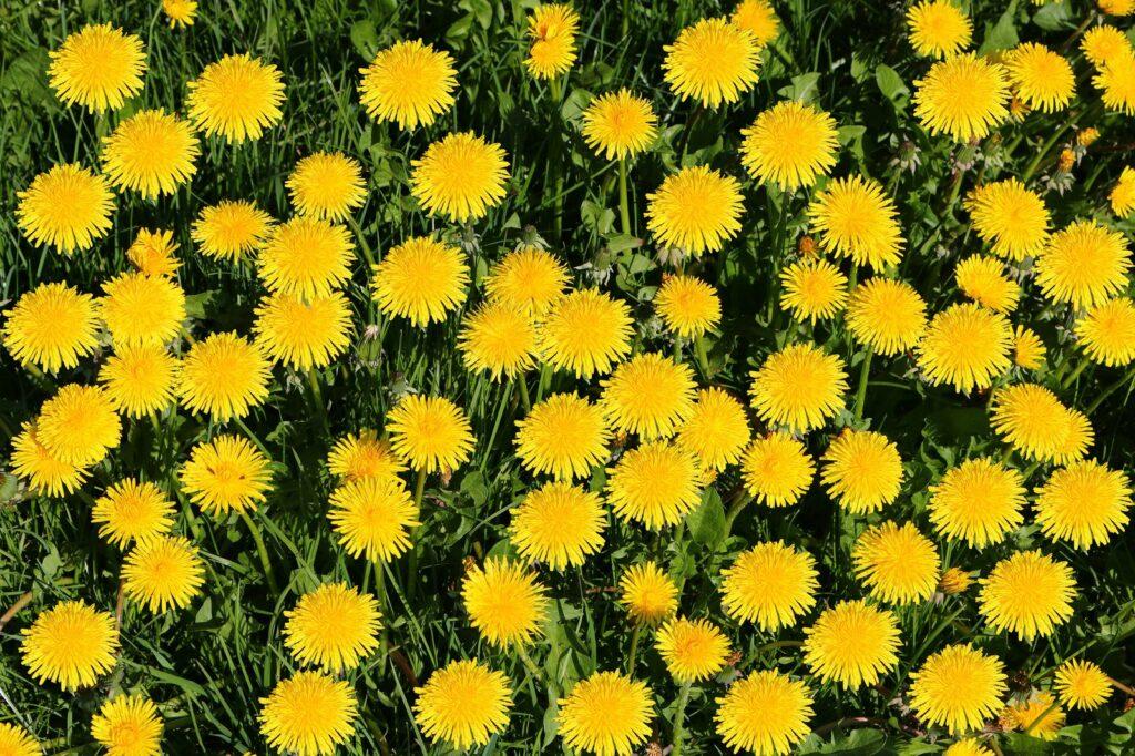 Löwenzahn-Blüten auf Wiese