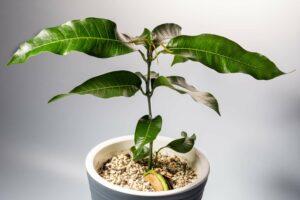 Mango anpflanzen: Einpflanzen & Anbau leicht gemacht