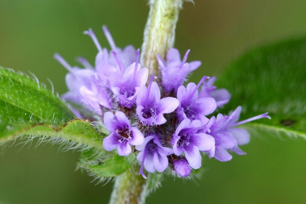 Blüte der Ackerminze
