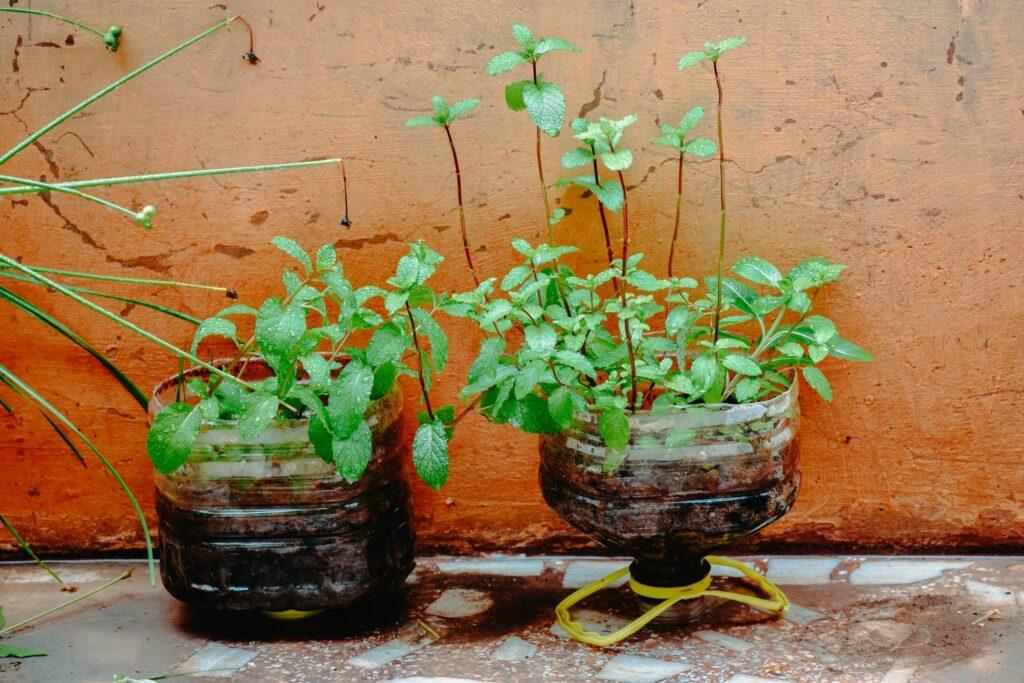 vegetative Vermehrung der Minze