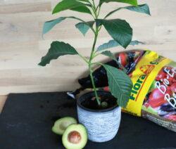 Neue Avocadopflanze Aus Kern Gewachsen