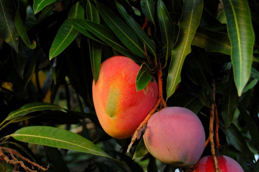 reife Mango an Baum