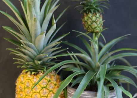 Reife Ananas Neben Miniananas