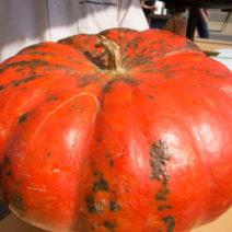 Roter Zentner: Eine Der Beliebtesten Speisekürbissorten Mit Großen Plattrunden Früchten