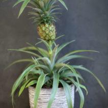 Mini Ananas In Topf