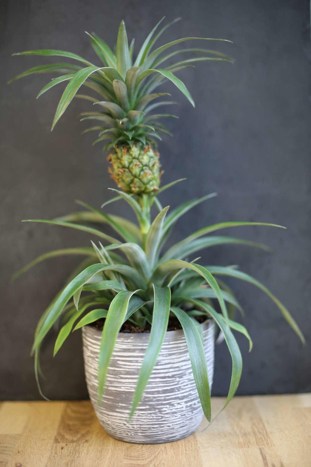 ananas anpflanzen vermehrung anbau anleitung plantura. Black Bedroom Furniture Sets. Home Design Ideas