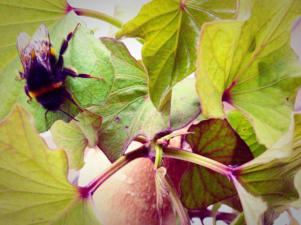 Hummel auf Blättern der Süßkartoffel