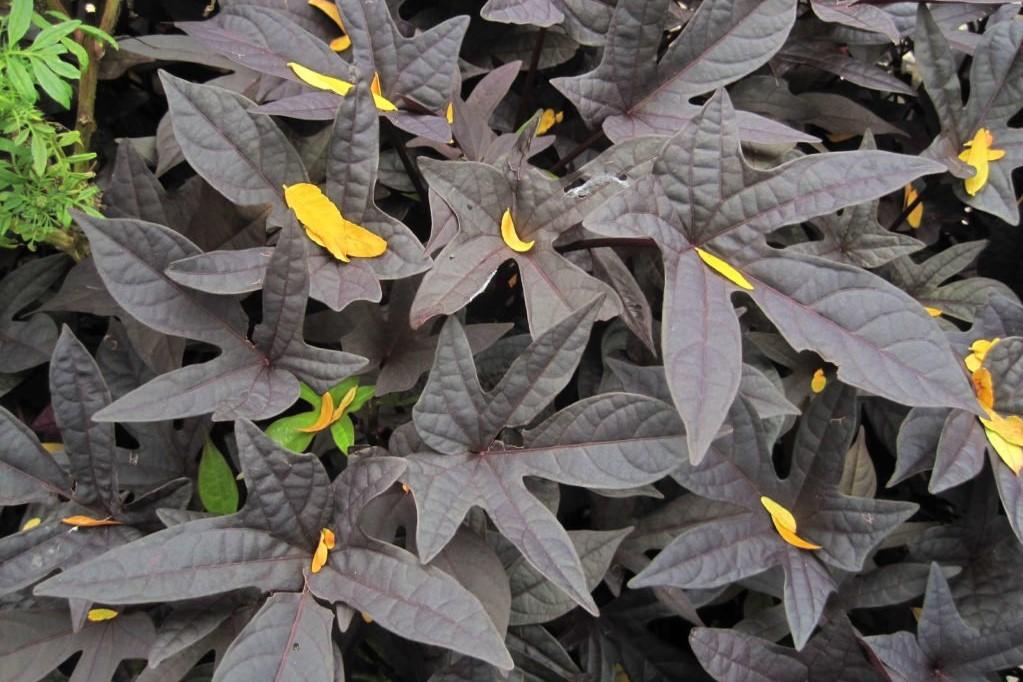 Blätter der Süßkartoffelpflanze mit dunkler Farbe