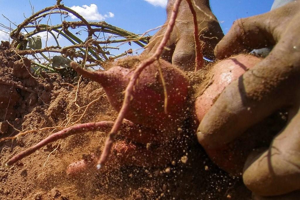 Süßkartoffeln werden mit Hand geerntet