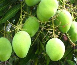 Unreife Mango